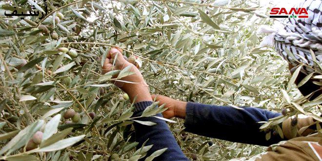 الزراعة تحدد مواعيد قطاف الزيتون والطرق السليمة للعمل والتعبئة