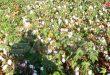 547 طناً تقديرات زيادة إنتاج القطن في حماة للموسم الحالي